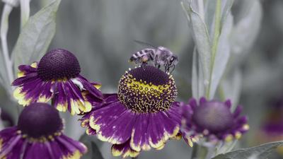 Sonnenbräute mit Biene