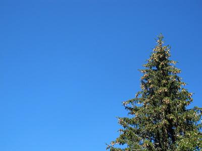 Tannzapfen im Herbst