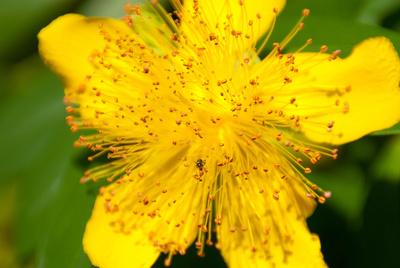 Gelbe Blume mit Kelch,  mit Ameise