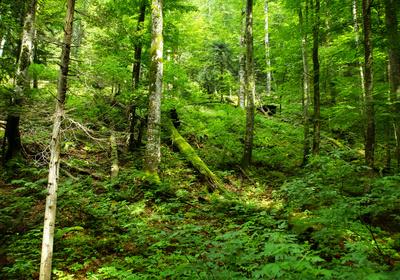 Dickicht im Laubwald
