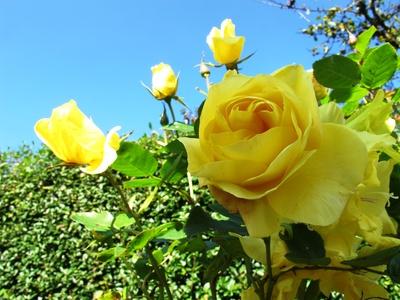 Rose in der Herbstsonne