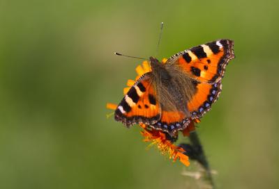 """Schmetterling """"Kleiner Fuchs"""""""
