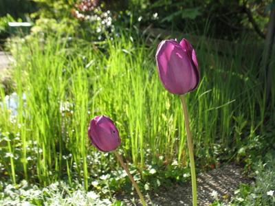Tulpen lila