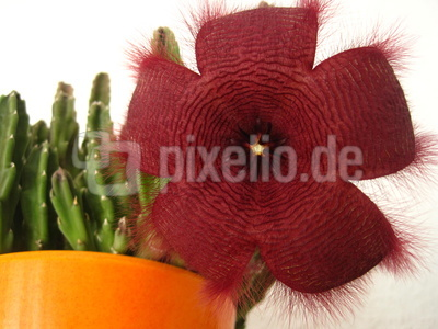 Stapelia-Pflanze mit Blüte