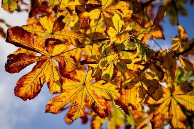 Kastanienblätter im Gegenlicht