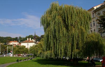 Trauerweiden im Park Klarov