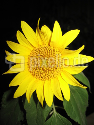 Sonnenblume jung