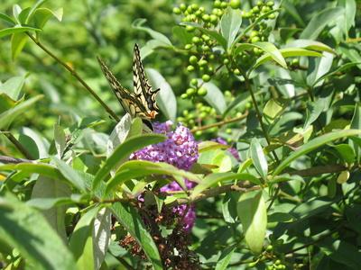 Schwalbenschwanz Schmetterling auf Sommerflieder