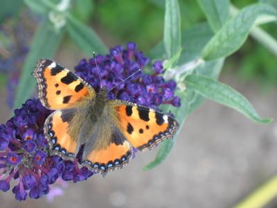 Kleiner Fuchs Schmetterling