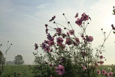eine blütenhecke mit cosmea im morgenlicht