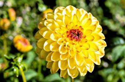 Gelbe Herbstaster