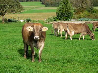Gesunde Kühe