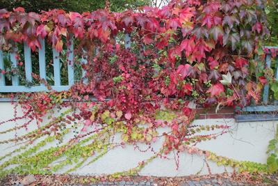 Herbstimpression mit bunten Blättern am Zaun