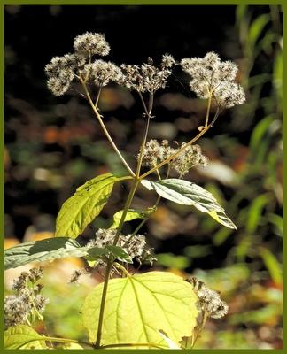 Wasserdost (Eupatorium rugosum)