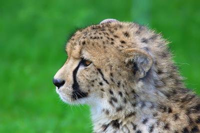 Gepardenportrait - ein rauer Bursche