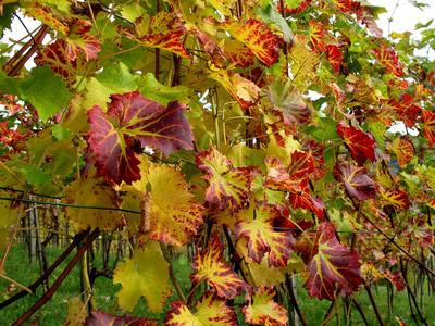 Bunte Weinblätter