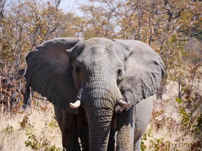 Chobe NP - Elefant
