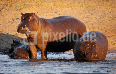 Hippos am Okavango River