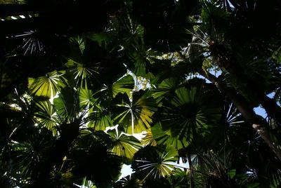 Palmblatt-Fächerwerk