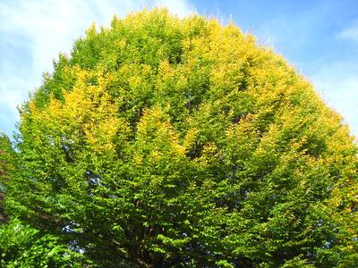riesige Ulme im goldenen Oktober-Sonnenlicht