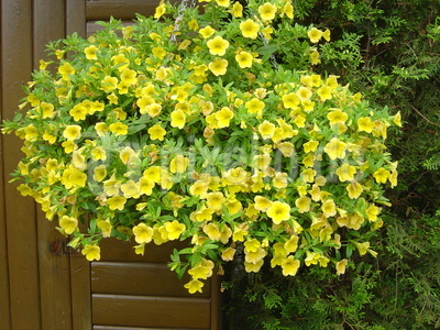 Gelbe Trichter