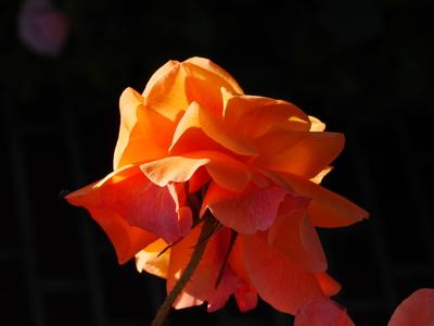Letzte Sonne - letzte Blüte