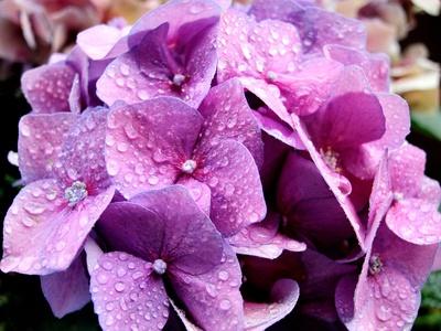 Hortensie im Regen