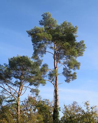 Gesunde Nadelbäume