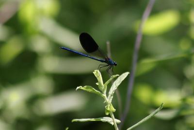 Blaue Libelle umhüllt von Grün