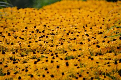 Blumenfeld in gelb