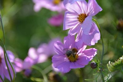 violette blüten mit biene