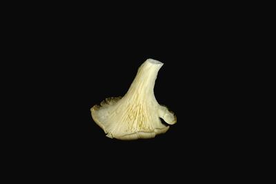 Austernpilze 15