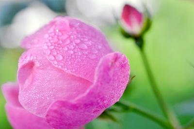 Rose im Frühtau