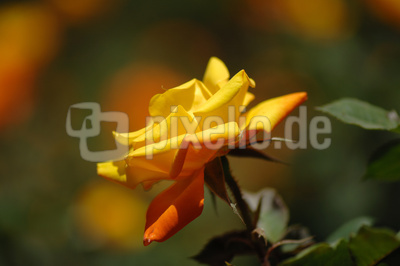 Rose, Gelb-Orange
