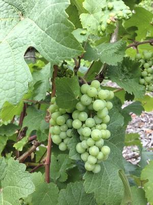 Grüne Weintrauben an einer Weinrebe