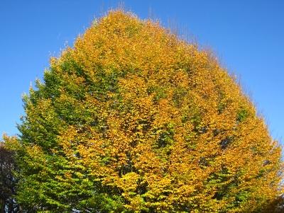 riesige Ulme, goldgelb leuchtend (im November)