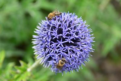 Sternkugel Lauch mit Bienen