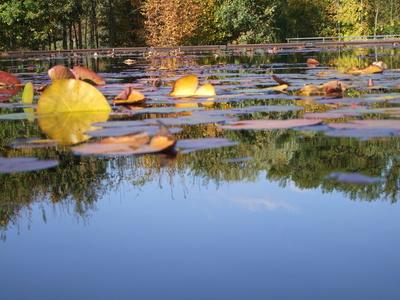 Seerosen im Herbst