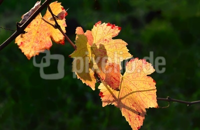 Weinblätter in der Herbstsonne