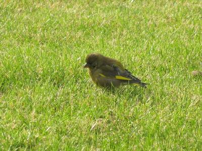 Buchfink im Garten