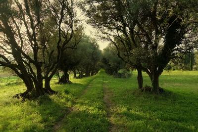 Olivenbaumallee