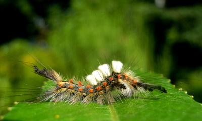 Kleiner Bürstenspinner - Raupe