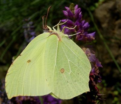 Der Schmetterlingsrüssel