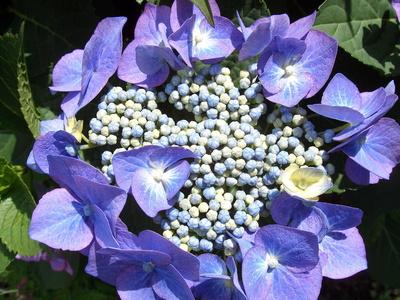 Teller-Hortensien-Blüte