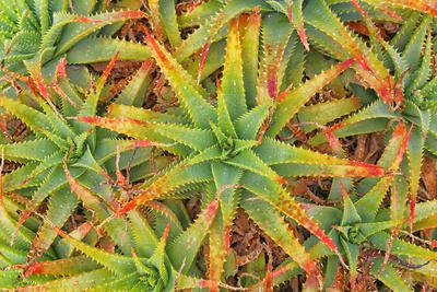 Aloe Pflanzen