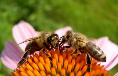 Bienensprache I