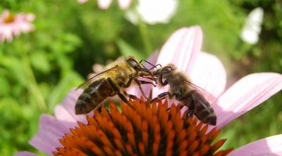 Bienensprache III