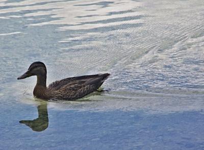 Einsame Ente im klaren Walchensee