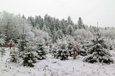 Weiss im Rottannenwald