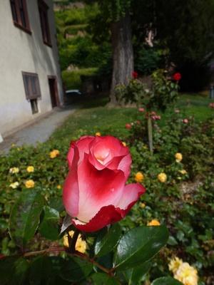 Rose im Vordergrund